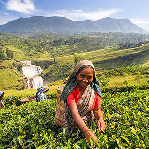 Tea Plantation & a tea factory
